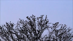 Flock of crows on tree, sound Stock Footage