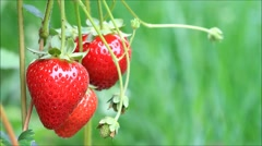 Fresh red strawberry on bush Stock Footage