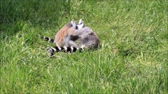 Cute lemur monkey playing in grass Stock Footage