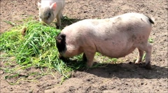 Mini pigs eating grass, teacup pig Stock Footage