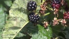 Fresh blackberries  Rubus genus in the garden after rain with drops Sound 4k UHD Stock Footage