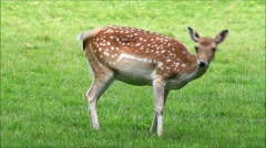 Young spotted Fallow deer grazing, dama dama Stock Footage