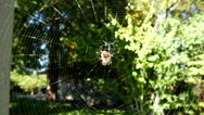 Spider on web move with wind Stock Footage