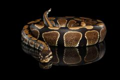 Ball or Royal python Snake on Isolated black background Stock Photos