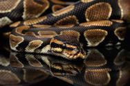 Ball or Royal python Snake on Isolated black background Stock Photos