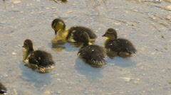 Little babies ducks playing in the water. Stock Footage