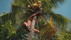 Balinese man sitting on top of palm tree, takes coconut and drops it down Arkistovideo