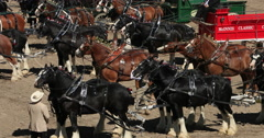 Wagon and Draft horse teams Gentle Giants DCI 4K Stock Footage