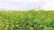 Field mustard plant with yellow flowers, useful plant. Stock Footage
