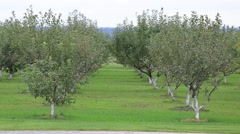 Young apple trees Even without fruit Stock Footage