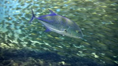 Yellow-striped scad in school with bluefin trevally hunting them Stock Footage