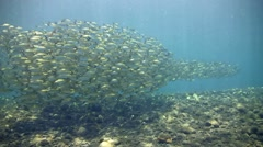 Yellow-striped scad in school with bluefin trevally following them Stock Footage
