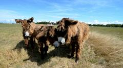 Poitou Donkey (Poitevin Donkey), Ile de Re, France, EU, Europe Stock Footage