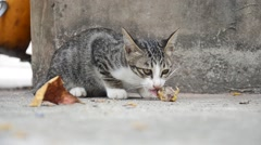 Domestic thai cat eating food Stock Footage