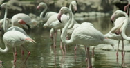 Flamingos Walking and Drinking Water in Slow Motion Stock Footage