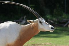 Scimitar horns oryx into the wild Stock Photos