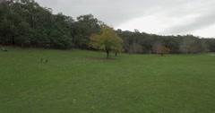 Horizontal pan across Kangaroos feeding on grassy area Stock Footage