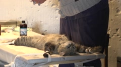 Cat on the operating table. Vet Stock Footage