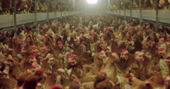Chickens at chicken farm, agriculture Europe Stock Footage