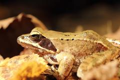 Closeup of agile frog ( Rana dalmatina ), autumn image with faded leaves Stock Photos