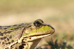 Portrait of marsh frog over out of focus background, profile view ( Pelophyla Stock Photos