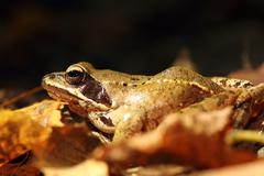 Close up of Rana dalmatina on autumn forest ground ( agile frog ) Stock Photos