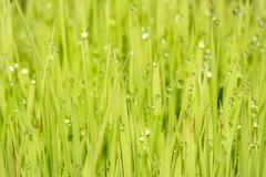 Rice plant with rain water drops close up detail Stock Photos