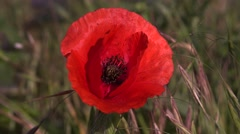 Red poppy with mites and the bee in wind 4k UHD Stock Footage
