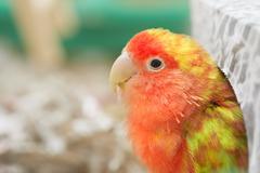 Lovebird. Kuvituskuvat