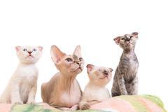 Purebred sphinx cat lying with kittens Kuvituskuvat