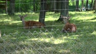 Roe animals lie on grass in zoo fenced territory. Zoom out Stock Footage