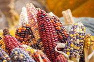 Fresh multicoloredcorn vegetable Stock Photos