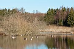 Wild Geese Stock Photos