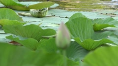 Lotus flower plants(Nelumbo nucifera)in a pond static shot 4k UHD Stock Footage
