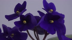 Blue African Violet Or Saintpaulia Ionantha zoom out 4k UHD Stock Footage