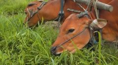 Two banteng cows in plow eating grass close up Stock Footage