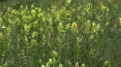 Grass and Wildd  yellow flowers in  spring wind 4k UHD Stock Footage