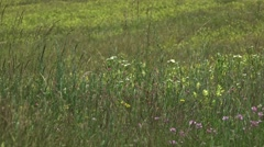 Grass and Wildd flowers in  spring wind 4k UHD Stock Footage