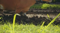 Balinese man plowing rice field with two banteng cows, close up Stock Footage