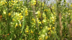 Grass Wildd yellow flowers a in  spring wind left pan  4k UHD Stock Footage