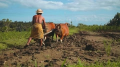 Balinese man plowing rice field with two banteng cows, long shot Stock Footage