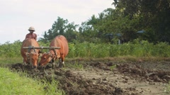 Balinese man plowing rice field with two banteng cows, walking towards camera Stock Footage