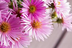 Pink daisies in a bunch Stock Photos