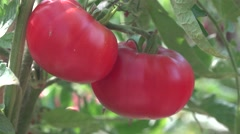 Fresh organic  tomato s in the garden on the vine changing focus 4k UHD sound Stock Footage