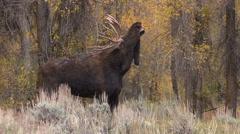 Rutting Bull Shiras Moose in Fall Stock Footage