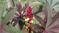 Castor Oil Plant (Ricinus Communis) zoom in  flower with many ants 4k UHD Stock Footage