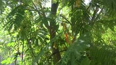 Albizia julibrissin or Persian silk tree pink silk tree i tilt up 4k UHD Stock Footage