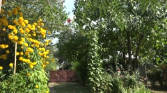 Yellow dahlia in my garden with wind 4k UHD Stock Footage
