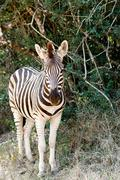 Baby Burchell's Zebra looking all alone. Stock Photos