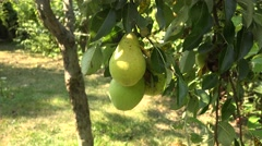 Organic imperfect pears on the branch moving in the wind  4k UHD zoom in Stock Footage